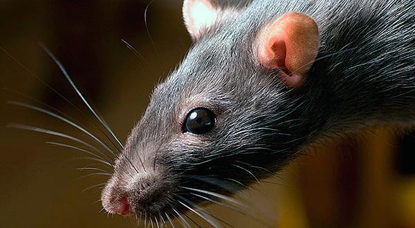 Как эффективно бороться с мышами и крысами с помощью доступных средств?